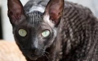 Порода кошек с шерстью как каракуль?