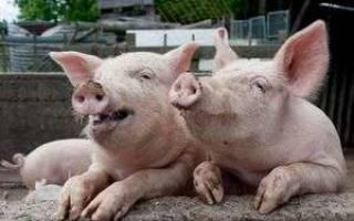 Свинья отказывается от еды лежит – чем лечить отравление у поросят?
