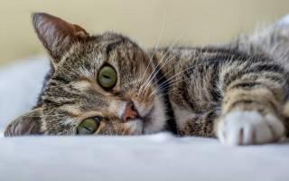 У кота не поднимается хвост – кошка не дает трогать живот