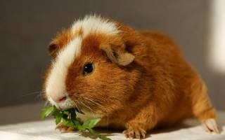 Как определить беременность морской свинки?