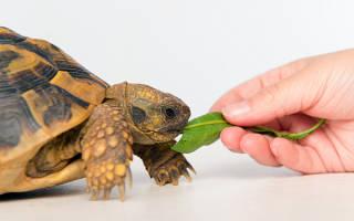 Как часто надо кормить красноухую черепаху?