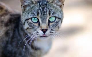 Почему у кошки опухла нижняя губа?