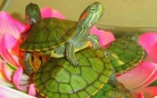 Что едят черепахи водные в домашних условиях?