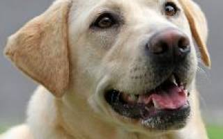 Лабрадор собака описание характер породы