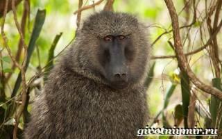 Самые опасные обезьяны в мире, агрессивный павиан