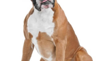 Боксер собака описание породы характер