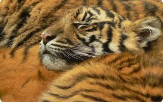 Какие бывают породы тигров?