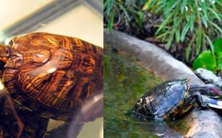 Какой рыбой кормить красноухую черепаху?