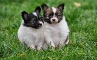 Как выбрать щенка папильона?