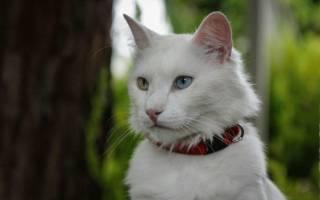 Белый кот с разными глазами, белоснежный котенок