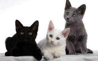 Русская белая кошка описание породы