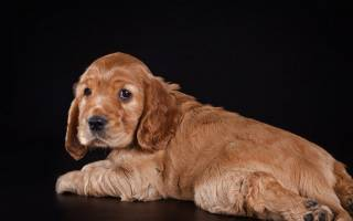 Как воспитывать щенка кокер спаниеля английского?