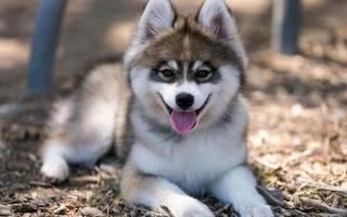 Помски собака взрослая описание породы