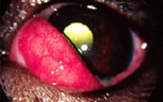 Глазные болезни у собак фото и лечение – вишневый глаз