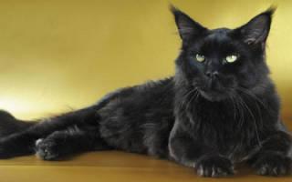 Черная кошка дома приметы