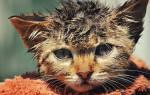 Как вывести блох у маленьких котят?