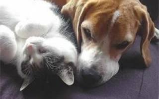 Жировая дистрофия печени у кошек – гепатоз у кота