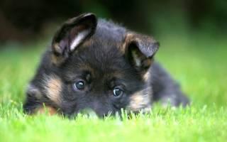 Как выбрать щенка немецкой овчарки?