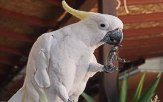 Какие породы попугаев разговаривают?