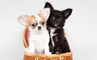 Чихуахуа сколько щенков в помете?