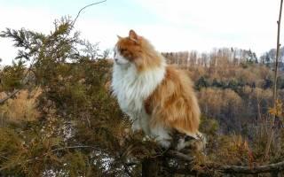 Норвежский лесной кот описание породы