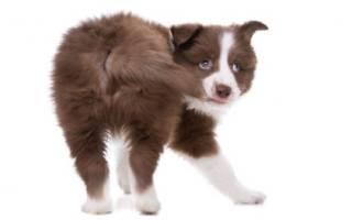 Собака бегает за своим хвостом причина