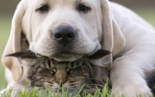 Породы сторожевых собак которые любят кошек?