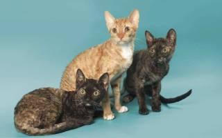 Какая порода кошек самая злая?