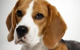 Что за порода собак бигль?