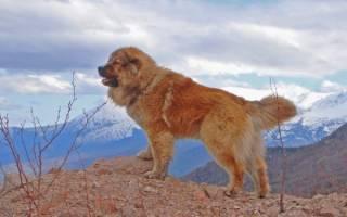 Опасны ли кавказские овчарки?