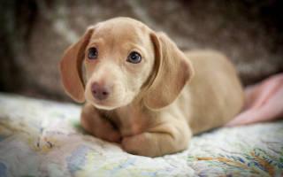 Как ухаживать за таксой щенком в квартире?