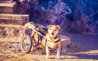 Паралич задних конечностей у собак лечение