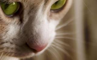 Можно ли коту дать пирантел от глистов?