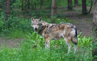 Чем питаются волки в лесу?