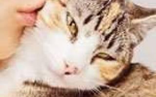 Как кошки проявляют любовь к хозяину – кот лезет целоваться