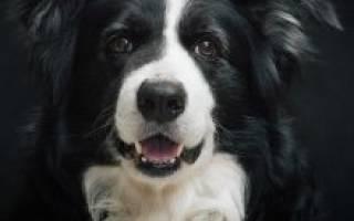 Порода собак бордер колли фото – border collie