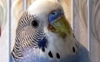 Почему волнистый попугай не чирикает?