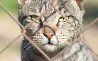 Кошачий СПИД опасен ли для человека – ВИЧ у кошек симптомы