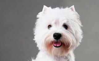 Вестики собаки описание породы