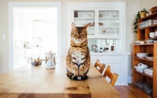 Как отучить кота прыгать на стол – кошка на столе