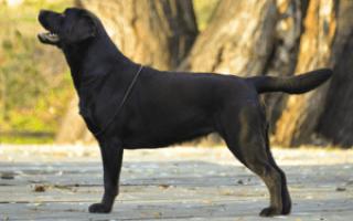 Как определить щенка лабрадора от помеси?