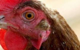 У курицы посинел гребень, что это?