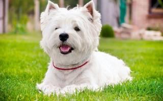 Вестхайлендский белый терьер описание породы фото, собака вайт хайленд