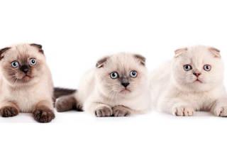 Шотландская вислоухая кошка шоколадного окраса