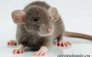 Крысята дамбо описание породы