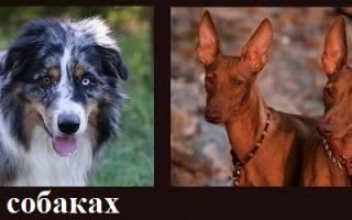 Как обменять метрику щенка на родословную?