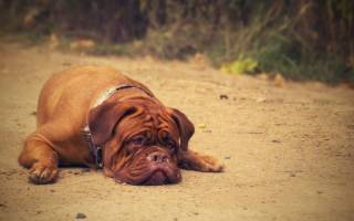 Межпозвоночная грыжа у собак