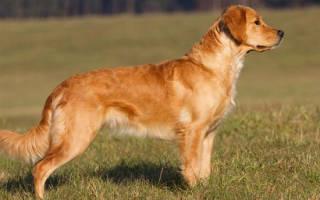 Порода собак золотистый ретривер описание породы