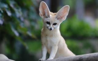 Фенек содержание в домашних условиях – декоративные лисы