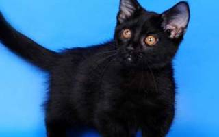 Манчкин порода кошек описание